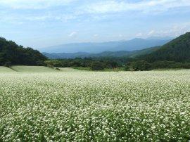 作谷沢の蕎麦畑:写真