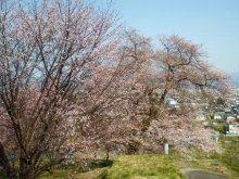桜の開花状況 【2016.4.13現在】:画像
