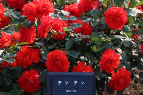 薔薇見頃です2:画像