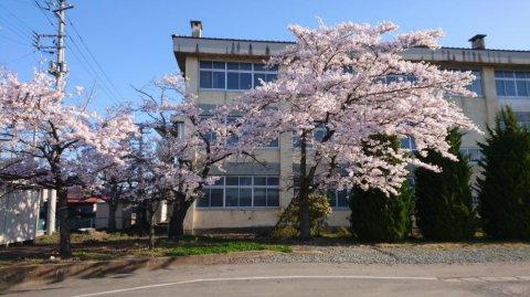 旧楯岡高校の桜:画像