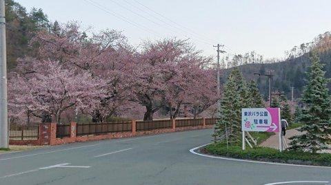 東沢公園も咲きました!:画像