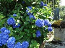 初夏の花、その2…アジサイ:画像