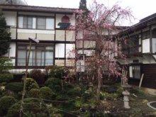 枝垂れ桜  #127800; 2020:画像