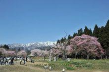 さくら開花状況(4/24):画像