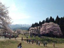しらたか古典桜開花情報:画像