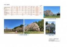 4月21日(水)桜開花情報:画像