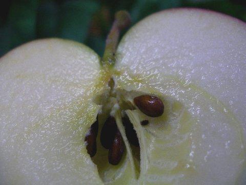 甘味と酸味がほどよく、果汁の多いりんごです。:画像