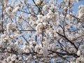●桜咲く!●:画像