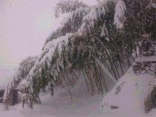 嵯峨野には 勝つかもしれぬ 竹林:画像