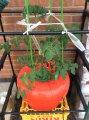 水耕栽培の野菜たち、順調です!:画像