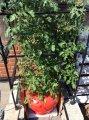 水耕栽培トマト、ついに身長越え!:画像