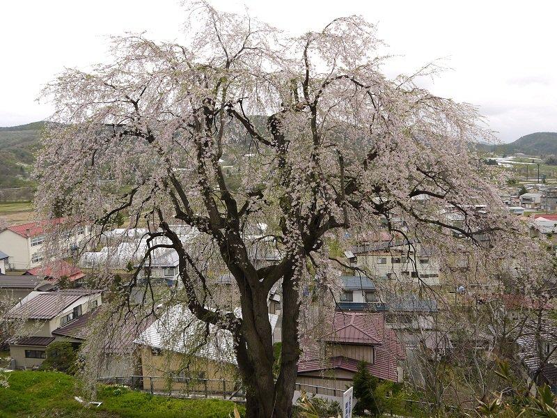 双松公園開花情報(5/2):やまがたへの旅/山形県観光情報 ...