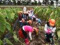 里芋の収穫体験:画像