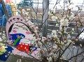 置賜産啓翁桜でおもてなしキャンペーン:画像