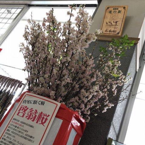 啓翁桜!:画像