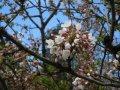 ★。★ぽちぽち咲いてきてます・・・美蔵:画像