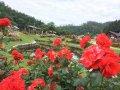 6月23日 東沢バラ公園開花状況:画像