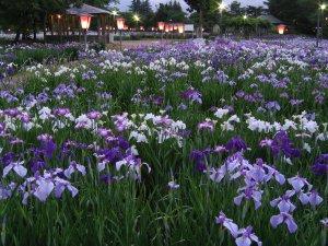 長井小紫と長井古紫:画像