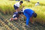 【稲刈りの季節です〜伊佐沢地区公民館少年教室】:画像