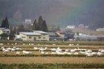 【長井市にも冬の使者飛来】:画像