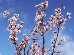 【冬に咲く桜〜啓翁桜(けいおうざくら)】:画像