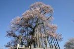 【もうすぐ桜の季節〜長井市さくら開花情報】:画像