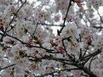 【桜!サクラ!さくらんらん!】:画像