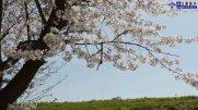 長井の『春』:画像