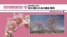 【長井市】長井市最上川沿いの梅林(令和2年4月3日):画像