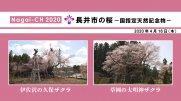 【長井市】長井市の桜〜国指定天然記念物〜(令和2年4月16日):画像