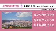 【長井市】長井市の桜〜最上川沿いのサクラ〜(令和2年4月16日):画像