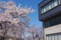 ☆交流センターふらりの桜がいよいよ見ごろです:画像