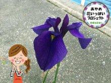 ☆花の便りが続々と!~あやめ花いっぱいプロジェクト:画像