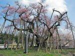【久保桜がいよいよ見頃です!】:画像