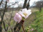 【秋彼桜が咲いています(^^)v】:画像