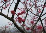 【梅の花が見頃です(^^)】:画像