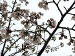【今日は花曇り〜白つつじ公園の桜も咲きはじめました】:画像