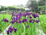 【あやめの長井をPR〜山形銀行本店で鉢花展を行います】:画像