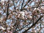 【ひとあし早い-桜の彩り-】:画像