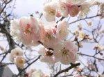 【梅の花が咲きました!&さくら通信*゜。+*】:画像