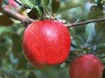 【蜜がたっぷり!山形 朝日町産 『ふじりんご』】:画像