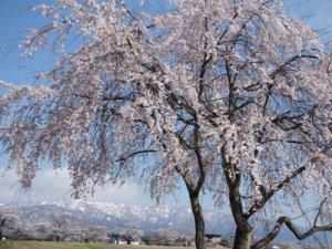 【今年も桜に会いに来てくださいね〜置賜さくら回廊<予告>】:画像