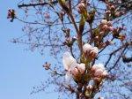 【つつじ公園の桜が咲きました!&さくら通信。*+】:画像