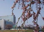 【桜の彩り&さくら通信。*+】:画像