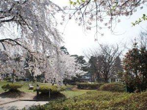 【桜の次は「白つつじ」&さくら通信。*+】:画像