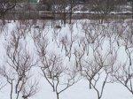 【長井の梅は…雪の中】:画像
