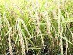 【美味しいお米の季節です! 〜28年産新米〜】:画像
