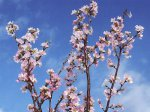"""【ひと足早い春を..""""啓翁桜""""】:画像"""