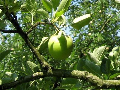 【リンゴの王様 『王林』】:画像