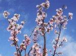 【ひと足早い桜を..≪啓翁桜≫】:画像